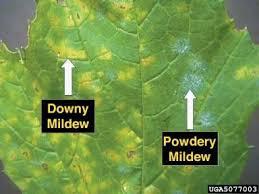 <b>Мучнистая</b> роса - Powdery mildew - qwe.wiki