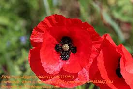 poppy field poppy papaver rhoeas attribution bjorn s final