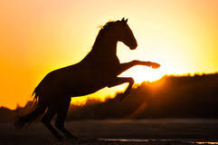 black horse rearing in sunset. Wonderful Horse Rearing Horse Sihouette Royalty Free Stock Photography For Black Horse In Sunset K