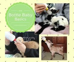 Basics Of Bottle Feeding Goat Kids The Thrifty Homesteader