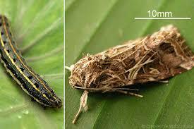 Cutworms Irri Rice Knowledge Bank