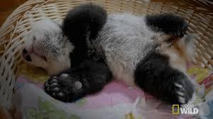 baby panda gif. Brilliant Panda Sleepy Baby Panda GIF By Nat Geo Wild With Gif A