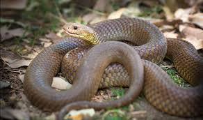 Australias 10 Most Dangerous Snakes