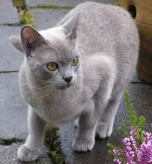 Small Picture 119 best Burmese Cats images on Pinterest Animals Cats and