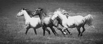 wild horses running. Beautiful Horses Horses Photograph  Wild Running By Athena Mckinzie To