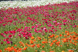 carlsbad flower fields march 2017 008