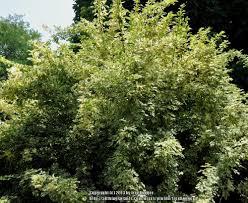 Photo Of The Entire Plant Of Aralia Eleutherococcus