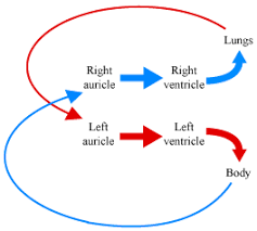Double Circulation Flow Chart Explain The Process Of Double Circulation Science Life