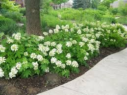 how to grow hydrangea in south texas