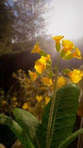 blender tutorial nature close up cowslips