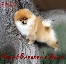 free teacup pomeranian puppies. Exellent Teacup Free Teacup Pomeranian Puppies  White  For Sale Puppy Los  In P