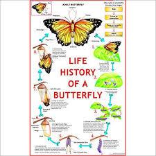 Life Cycle Of Butterfly Chart Vidya Chitr Prakashan 4226