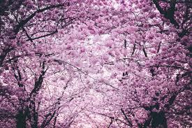 1000 Interesting Cherry Blossom Photos Pexels Free Stock