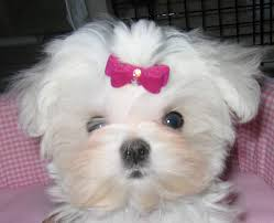 Maltese dog girl photo and wallpaper ...