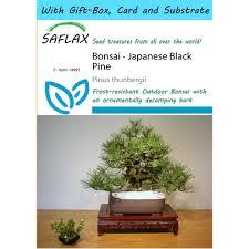 saflax gift set bonsai anese black pine pinus thunbergii 30 seeds