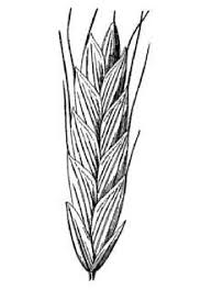 Plants Profile for Bromus racemosus (bald brome)