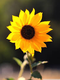 Sunflower iPhone Wallpapers - Top Free ...
