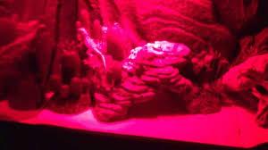 Bearded Dragon Night Light My Baby Bearded Dragon Terrarium At Night Youtube