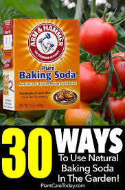 How can these properties be helpful in your garden? 30 Ways To Use Natural Baking Soda For Plants In The Garden