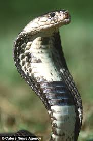 cobra head profile.  Head Cobras Are Famous For The Threatening U0027hoodu0027 Around Their Head Pictured  Which Intended Cobra Head Profile M