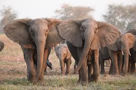 Under Poaching Pressure Elephants Are Evolving To Lose