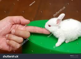 cute white baby rabbits. finger touching cute white baby rabbit rabbits s