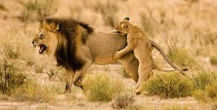wild animals in african forest. Plain African Wild Animals Jungle Videos With Animals In African Forest H