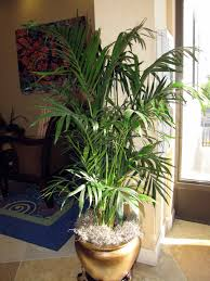 Outstanding Areca Palm Cats 79 About Remodel House Interiors With Areca  Palm Cats