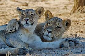 lioness and lion cuddle. Interesting And Lioness And Lion Cuddling  Photo17 And Lion Cuddle O