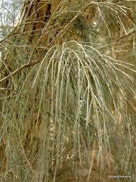 Tamarisk tree asian evergreen