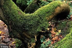 treasured the japanese cultivate moss gardens as carefully as any border full of rare plants