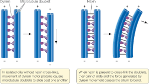 figure 4 12 a motor protein moves microtubules in cilia and flagella the motor protein dynein causes microtubule doublets to slide past one another