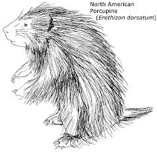 North American Porcupine Printout Enchantedlearning Com