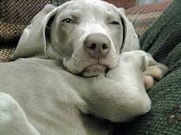 close up a gray weimaraner puppy is laying down on a couch and it is