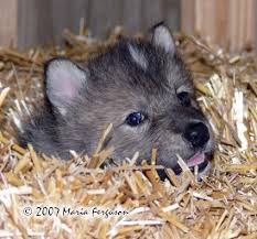 newborn gray wolf pups. Modren Wolf And Newborn Gray Wolf Pups R