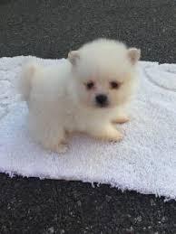 miniature pomeranian puppy