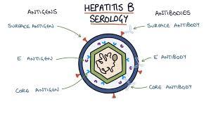 Hep B Serology Chart Understanding Hepatitis B Serology Results