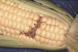 corn earworm | pesticide guy