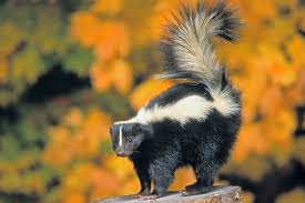 Image result for pictures of skunks