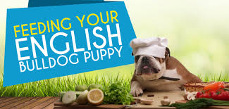 English Bulldog Weight Chart In Pounds Feeding Your English Bulldog Puppy