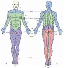 Dermatome Distribution Chart Dermatomal Maps Of The Peripheral Distribution Of Spinal