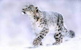 Snow Leopard Wallpapers HD - Wallpaper Cave