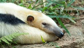 Image result for sleeping anteater