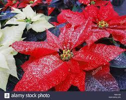 Weihnachtsstern Pflanzen Auch Als Christmas Star Mit Glitzer