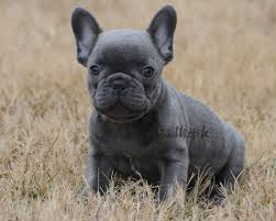 cute blue french bulldog puppies. Blue French Bulldogs By Bullistik Cute Puppies Dogs And Bulldog