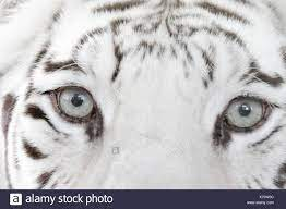 Tigre bianca del Bengala (Panthera tigris) Close-up di occhi Stukenbrock  Safari Park Germania Foto stock - Alamy