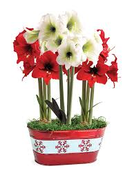 sold out whimsical mini amaryllis bulb gift