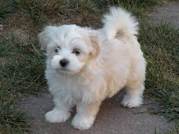 Small Picture 146 best Havanese images on Pinterest Havanese puppies Animals
