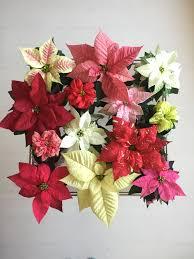 Thechristmasstar Christmasstar Poinsettia Poinsettie