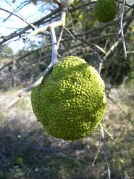The Scientist Gardener Osage OrangesFruit Trees In Kansas